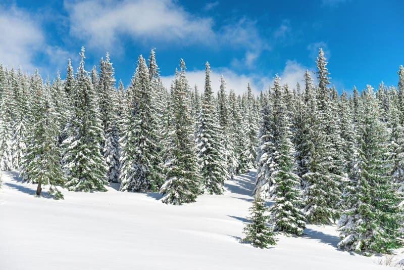Δέντρα χειμερινών πεύκων στο χιόνι στοκ φωτογραφία με δικαίωμα ελεύθερης χρήσης