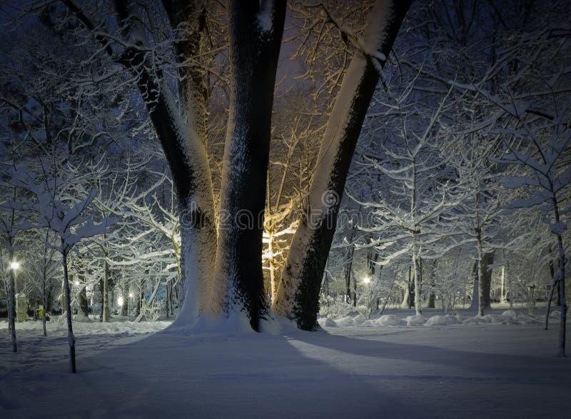 Δέντρα χειμώνα σε ένα πάρκο τη νύχτα στοκ εικόνα