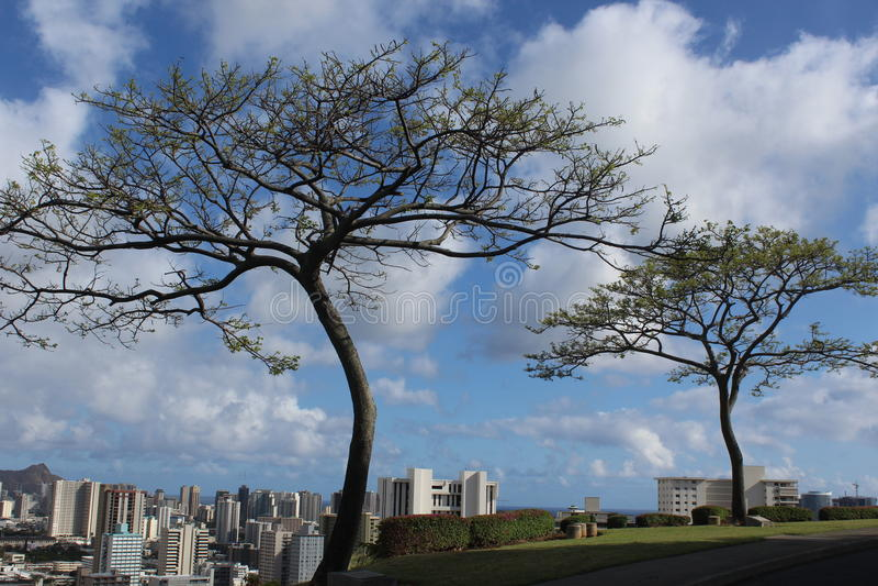 Δέντρα & Χονολουλού Albizia στοκ εικόνες με δικαίωμα ελεύθερης χρήσης