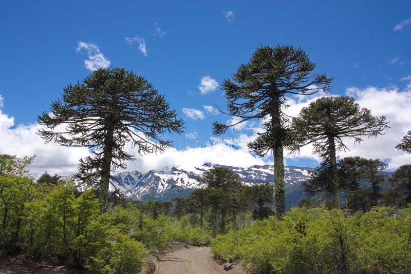 Δέντρα araucana αροκαριών στο εθνικό πάρκο ConguillÃo στη Χιλή στοκ εικόνα