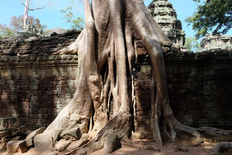 Δέντρα Banyan στις καταστροφές στο ναό TA Prohm r Μεγάλες εναέριες ρίζες ficus στον αρχαίο τοίχο πετρών Εγκαταλειμμένα αρχαία κτή στοκ φωτογραφία με δικαίωμα ελεύθερης χρήσης