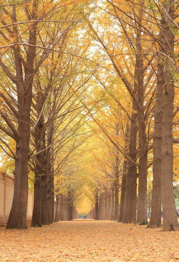 δέντρα ginkgo στοκ εικόνες