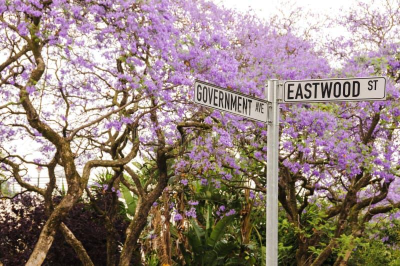 Δέντρα Jacaranda στην άνθιση στη Πρετόρια, Νότια Αφρική στοκ εικόνες