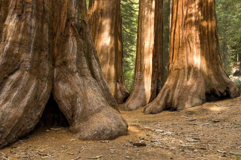 δέντρα mariposa αλσών redwood yosemite στοκ φωτογραφία