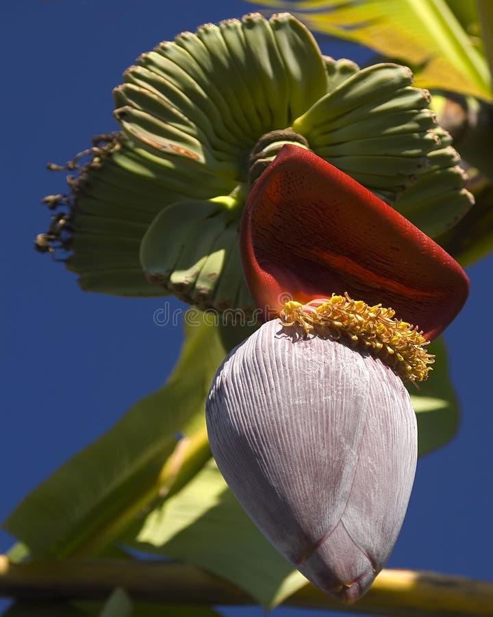 δέντρο άνθισης μπανανών στοκ εικόνα