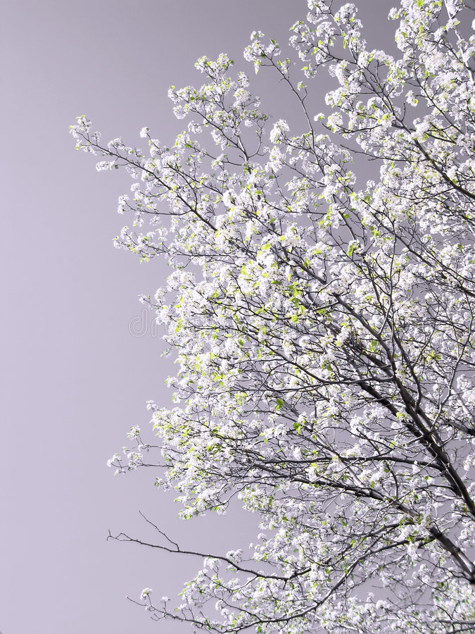 δέντρο άνοιξη άνθισης στοκ φωτογραφίες με δικαίωμα ελεύθερης χρήσης