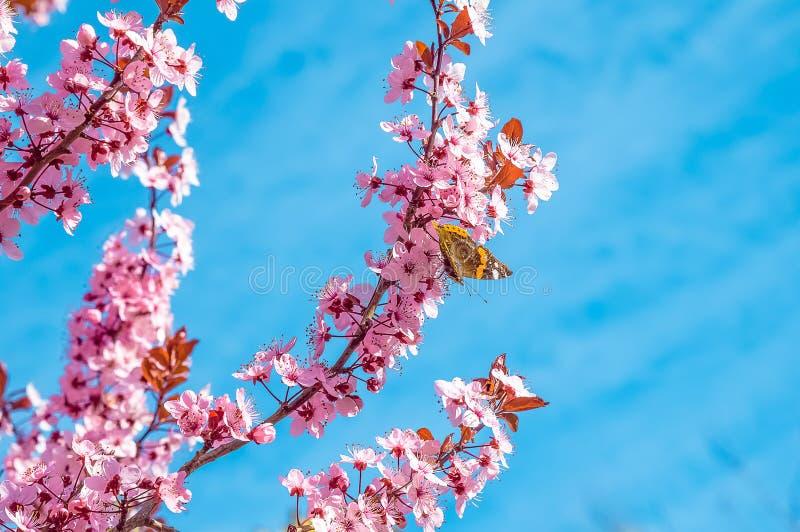 Δέντρο άνοιξη με το ρόδινο άνθος αμυγδάλων λουλουδιών με την πεταλούδα σε έναν κλάδο στο πράσινο υπόβαθρο, στο μπλε ουρανό με το  στοκ φωτογραφία με δικαίωμα ελεύθερης χρήσης