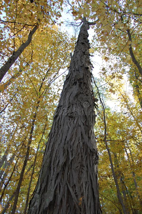Δέντρο άσπρων καρυδιών στο δενδρολογικό κήπο, Αν Άρμπορ, Μίτσιγκαν ΗΠΑ στοκ εικόνα με δικαίωμα ελεύθερης χρήσης