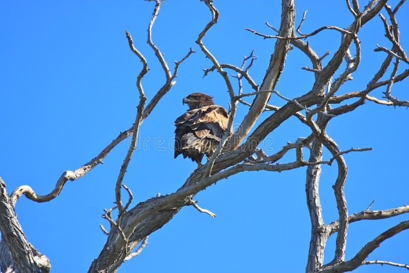 δέντρο αετών κλάδων gnarly στοκ φωτογραφίες με δικαίωμα ελεύθερης χρήσης