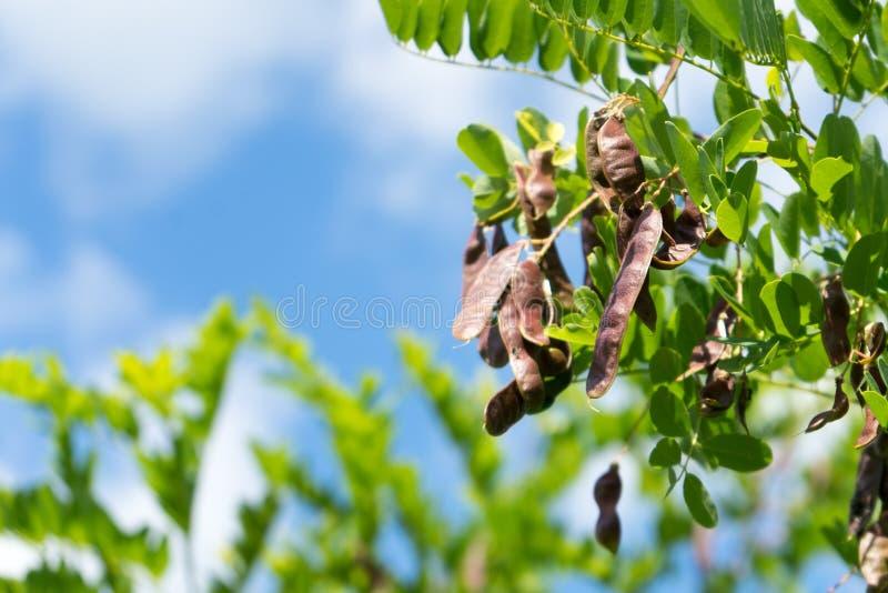 Δέντρο ακακιών φωτογραφιών με τους σπόρους στους λοβούς στοκ φωτογραφίες