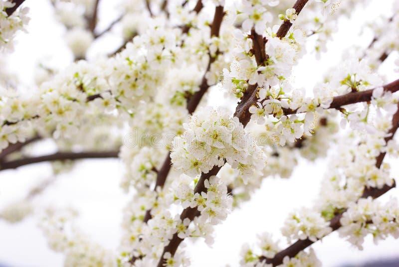 Δέντρο δαμάσκηνων στοκ φωτογραφία