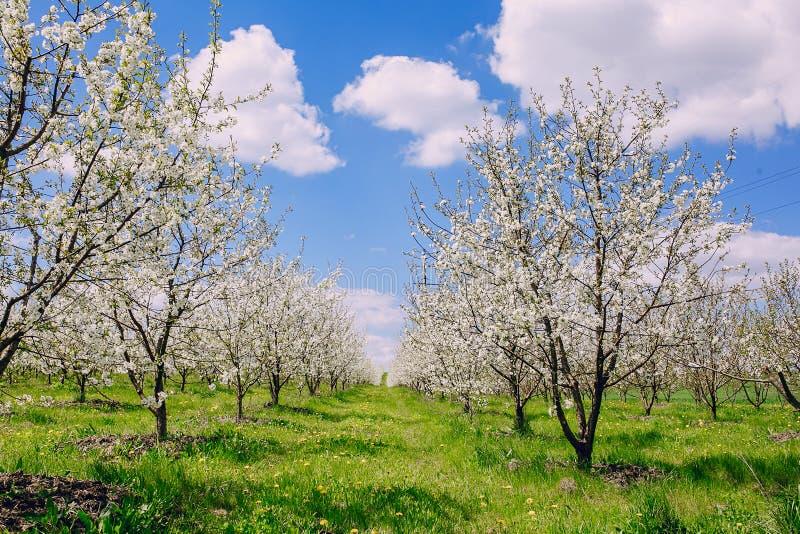 Δέντρο ανθών κερασιών στοκ φωτογραφίες με δικαίωμα ελεύθερης χρήσης