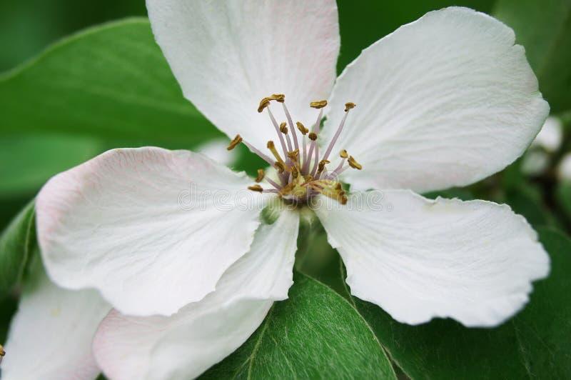 Δέντρο ανθών κυδωνιών στοκ εικόνες