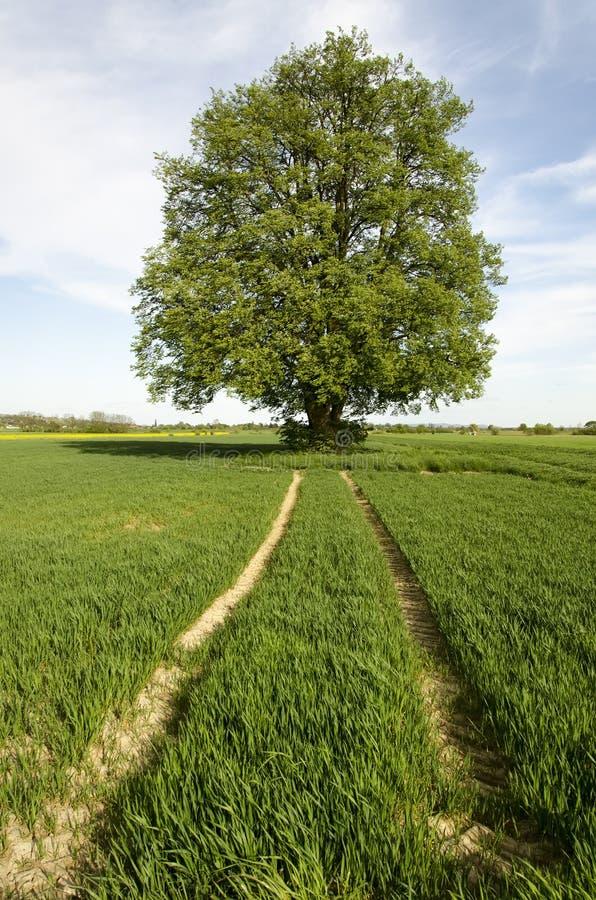 Δέντρο ασβέστη στοκ φωτογραφία με δικαίωμα ελεύθερης χρήσης