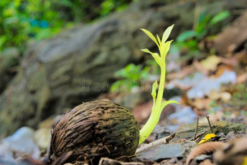Δέντρο αυτοκτονίας, Pong-pong ή δέντρο Othalanga στοκ φωτογραφία