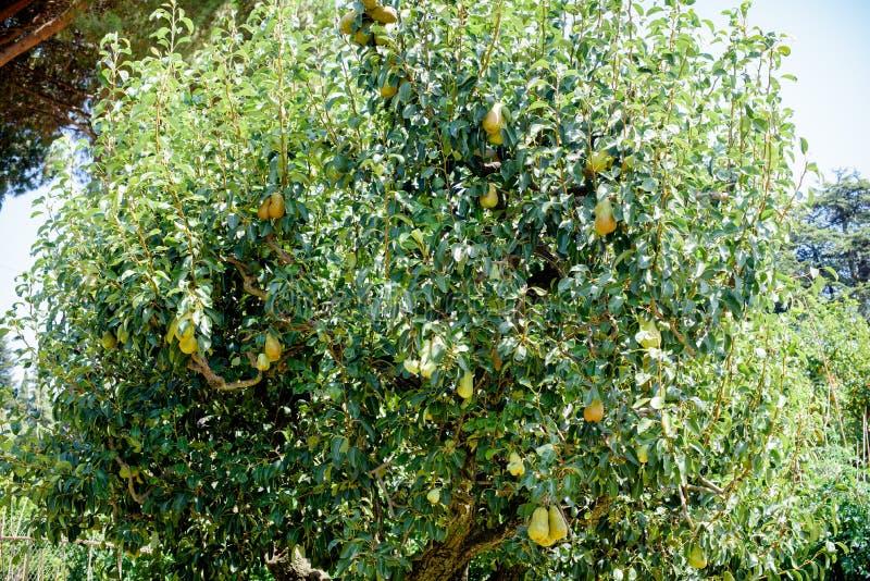 Δέντρο αχλαδιών με πολλά φρούτα στοκ φωτογραφία με δικαίωμα ελεύθερης χρήσης