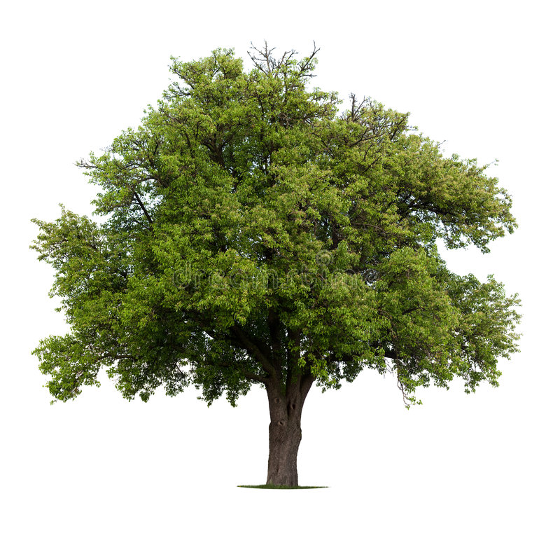 δέντρο αχλαδιών στοκ εικόνες με δικαίωμα ελεύθερης χρήσης