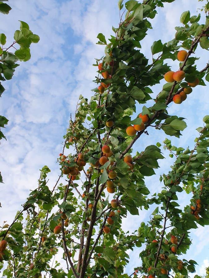 Δέντρο βερικοκιών στοκ φωτογραφίες