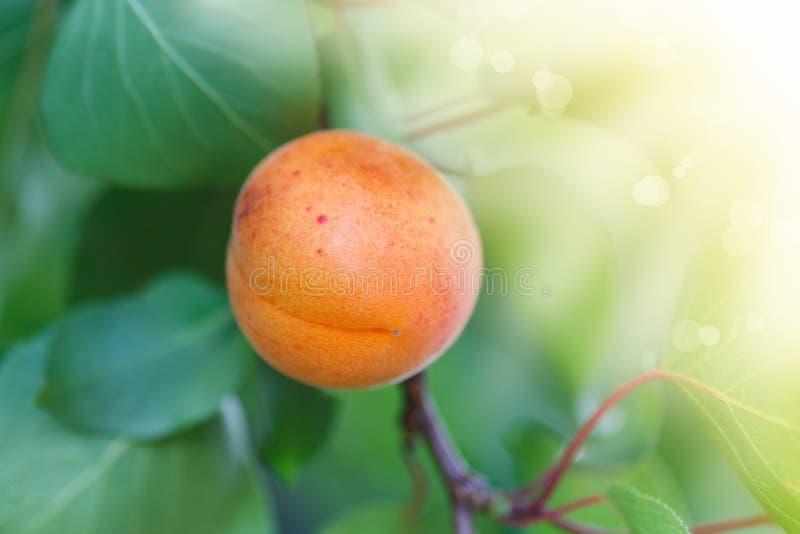 Δέντρο βερικοκιών με την ανάπτυξη φρούτων στοκ φωτογραφίες με δικαίωμα ελεύθερης χρήσης