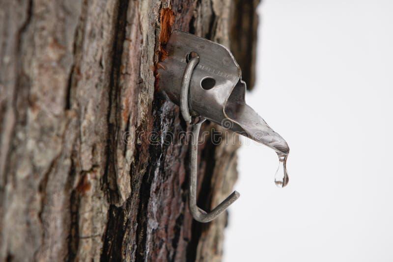 δέντρο βρυσών ζάχαρης σφεν&d στοκ εικόνα με δικαίωμα ελεύθερης χρήσης