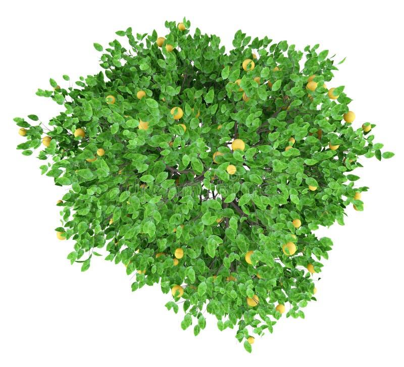 Δέντρο γκρέιπφρουτ με τα γκρέιπφρουτ που απομονώνονται στο λευκό Τοπ όψη ελεύθερη απεικόνιση δικαιώματος
