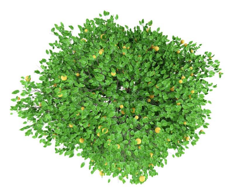 Δέντρο γκρέιπφρουτ με τα γκρέιπφρουτ που απομονώνονται στο λευκό Τοπ όψη απεικόνιση αποθεμάτων
