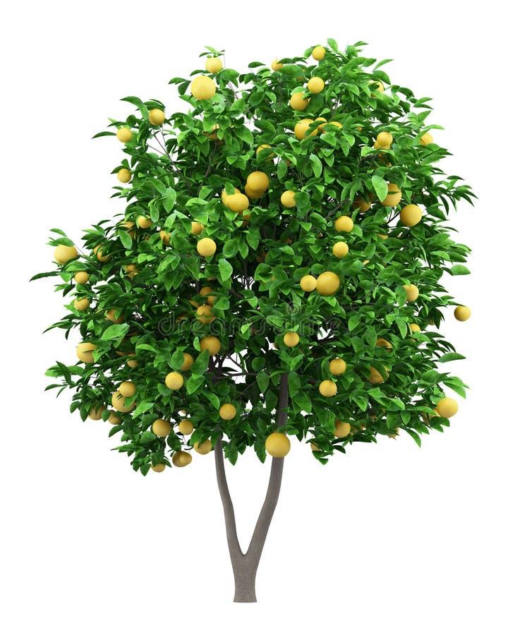 Δέντρο γκρέιπφρουτ με τα γκρέιπφρουτ που απομονώνονται στο λευκό διανυσματική απεικόνιση