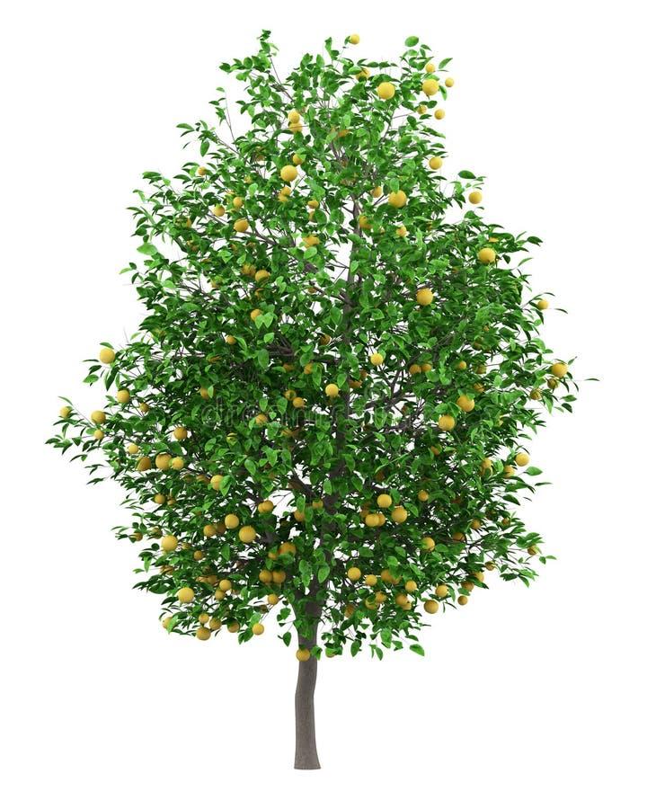 Δέντρο γκρέιπφρουτ με τα γκρέιπφρουτ που απομονώνονται στο λευκό απεικόνιση αποθεμάτων