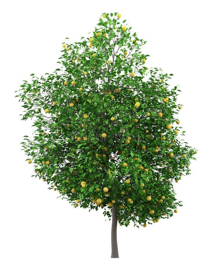Δέντρο γκρέιπφρουτ με τα γκρέιπφρουτ που απομονώνονται στο λευκό ελεύθερη απεικόνιση δικαιώματος