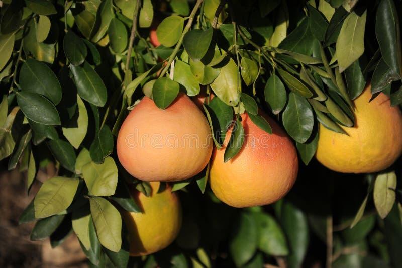 Δέντρο γκρέιπφρουτ με τα φρέσκα αυξημένα ρόδινα γκρέιπφρουτ στοκ εικόνες
