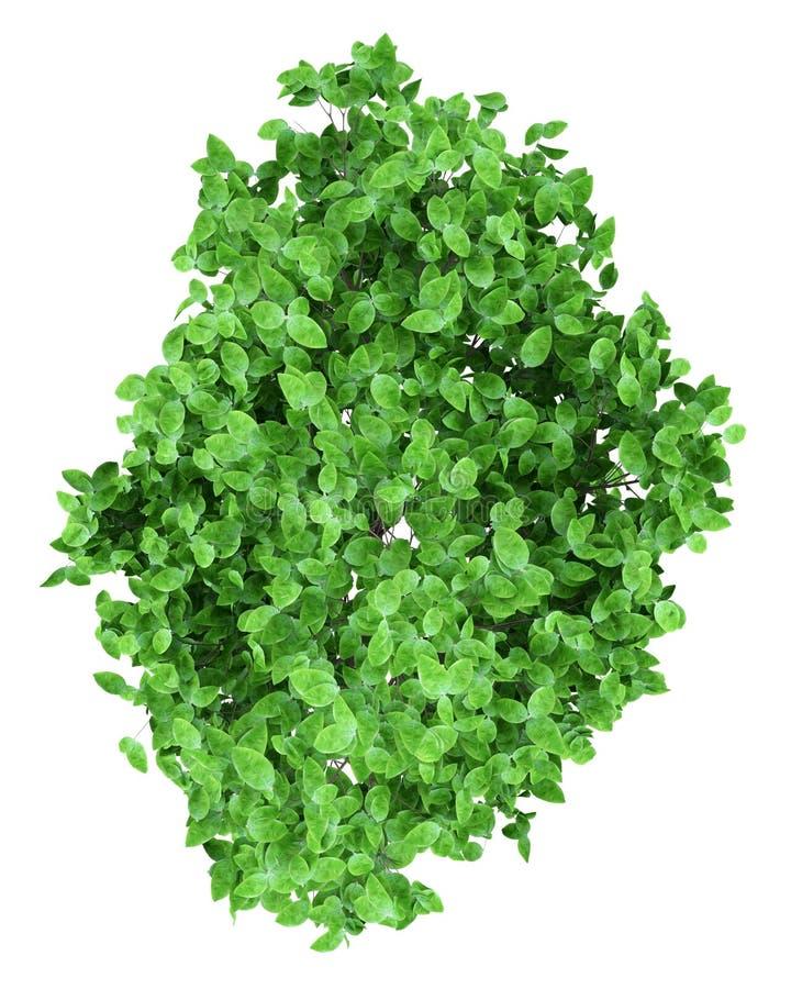 Δέντρο γκρέιπφρουτ που απομονώνεται στο λευκό Τοπ όψη απεικόνιση αποθεμάτων