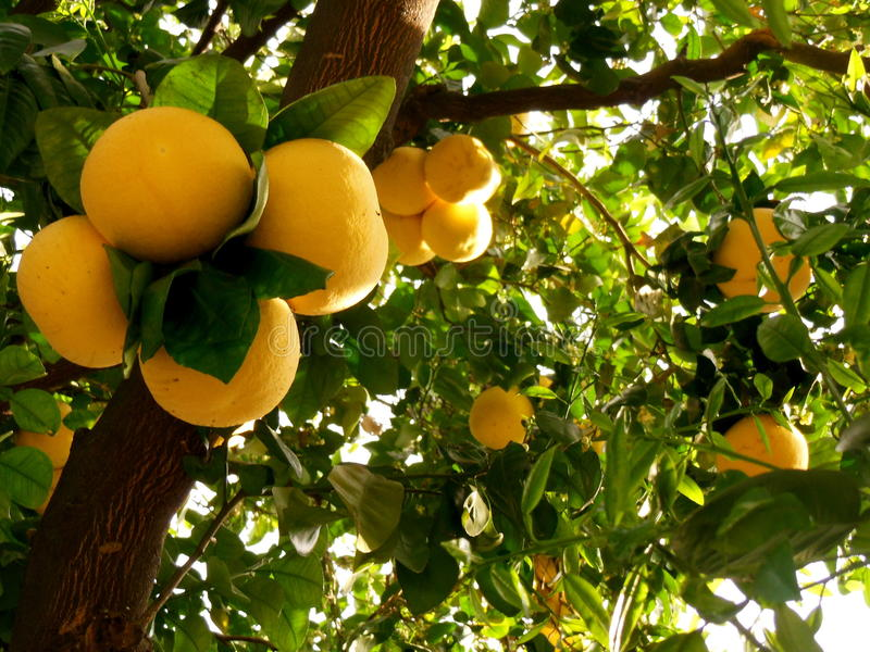 Δέντρο γκρέιπφρουτ στοκ εικόνες