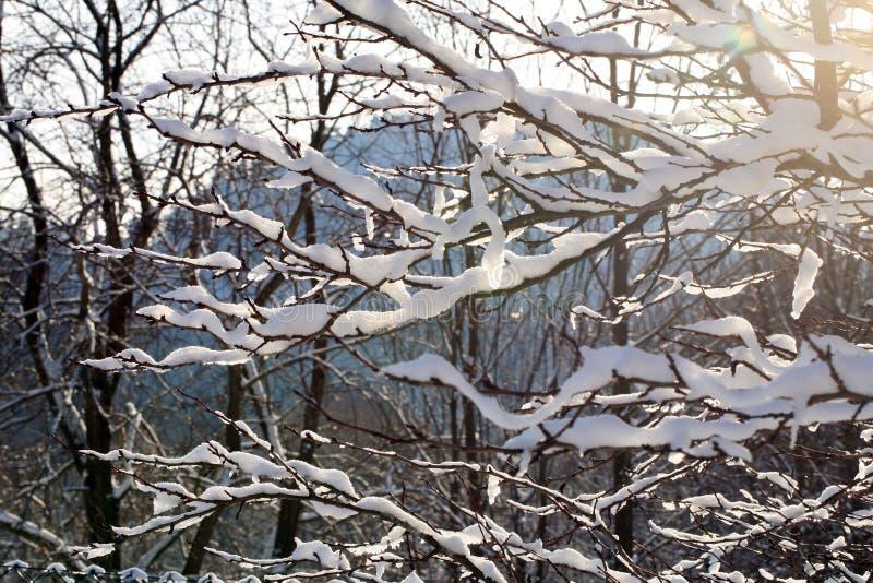 Δέντρο δαμάσκηνων κλάδων κάτω από το χιόνι με το φως του ήλιου στοκ εικόνες