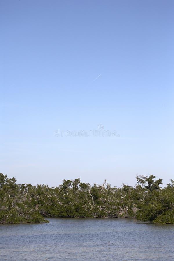 δέντρο ελών μαγγροβίων γρ&alph στοκ εικόνες