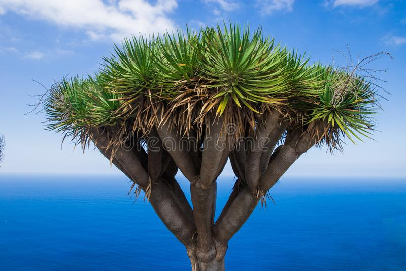 Δέντρο ενάντια στη θάλασσα φυτεύει κοντά στο ωκεάνιο draco Dracaena στοκ εικόνες με δικαίωμα ελεύθερης χρήσης