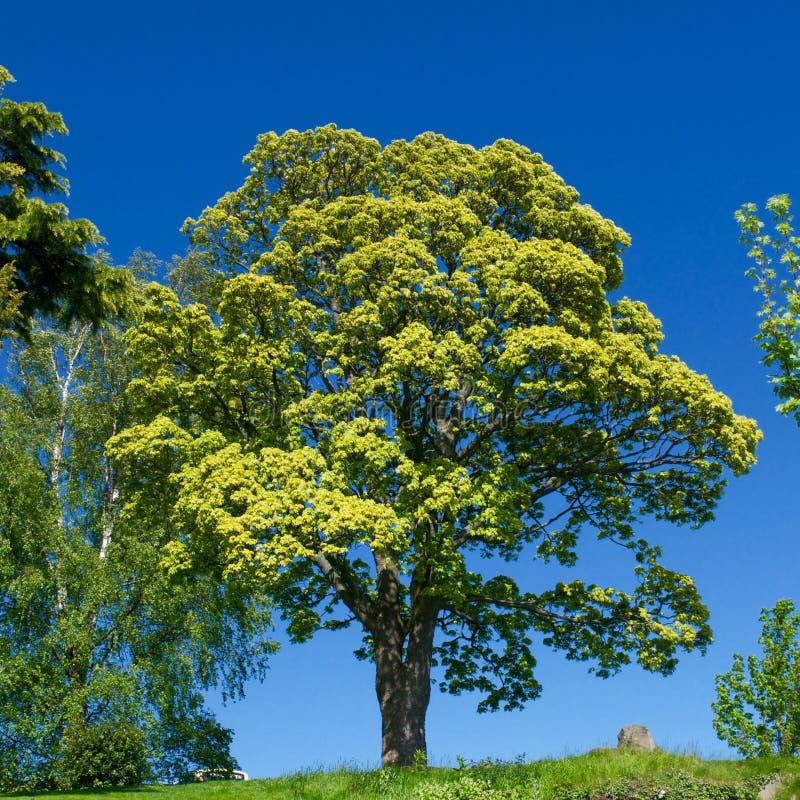Δέντρο ενάντια στο μπλε ουρανό στοκ εικόνα με δικαίωμα ελεύθερης χρήσης