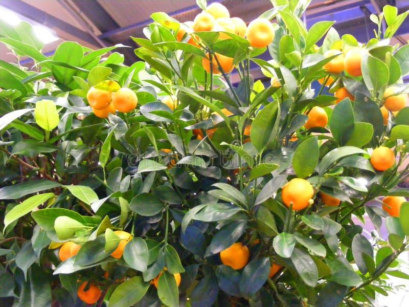 Δέντρο εσπεριδοειδών στο δοχείο στο πεζούλι, πορτοκαλιά tangerines στο δέντρο στοκ φωτογραφία