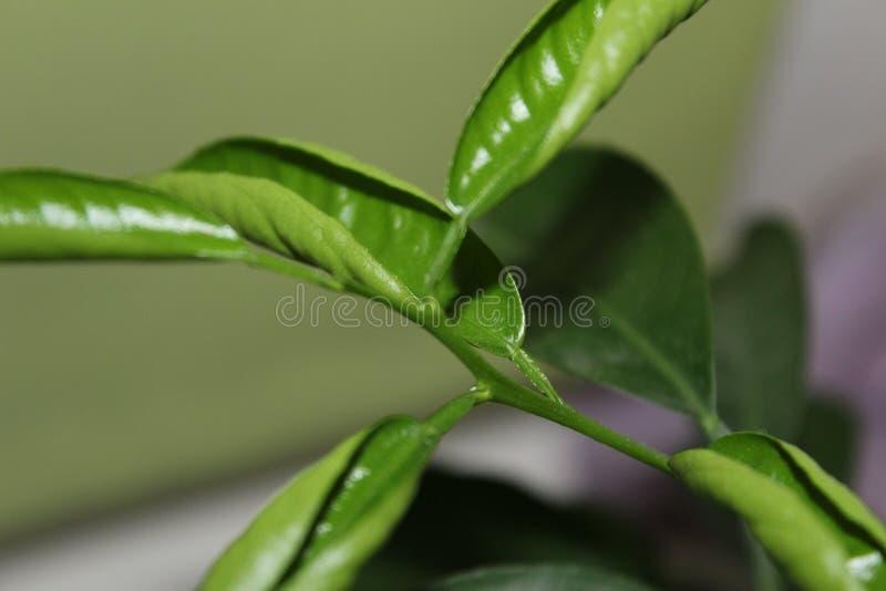 Δέντρο εσπεριδοειδών στοκ φωτογραφία