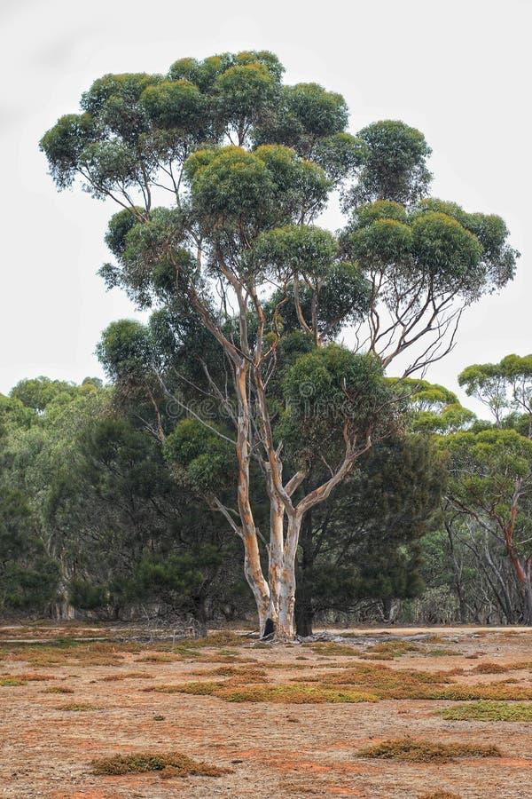Δέντρο ευκαλύπτων που στέκεται στο άδυτο εύνοιας στις τυχαίες ανακαλύ στοκ φωτογραφίες