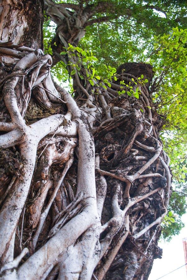 Δέντρο ζωής ` s με πολλές ρίζες στοκ εικόνες