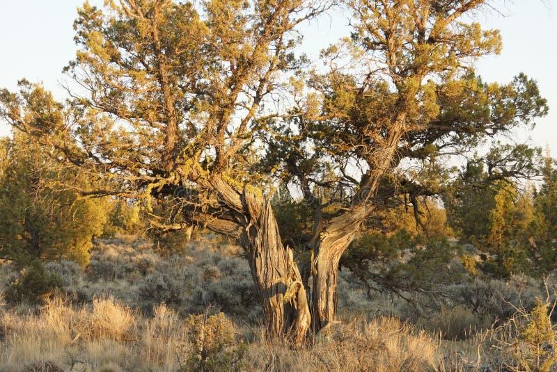 Δέντρο ιουνιπέρων σε αργά το απόγευμα στοκ φωτογραφία
