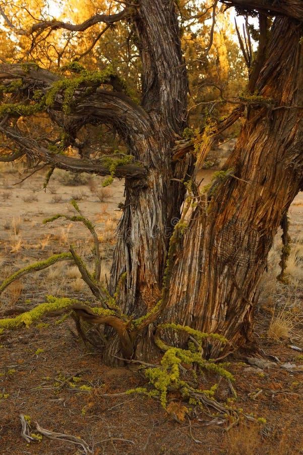 Δέντρο ιουνιπέρων σε αργά το απόγευμα στοκ εικόνες