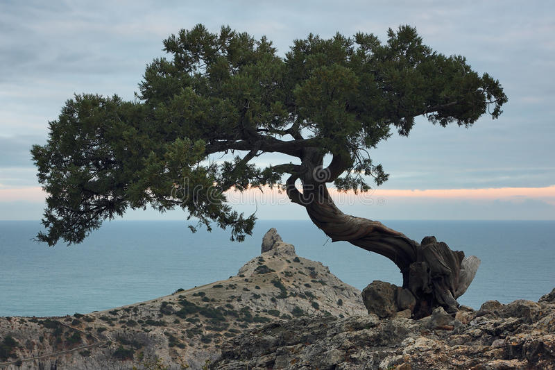Δέντρο ιουνιπέρων στο βράχο στην Κριμαία στοκ φωτογραφίες