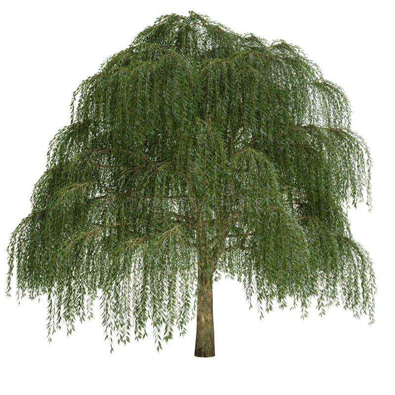 Δέντρο ιτιών που απομονώνεται στοκ φωτογραφίες