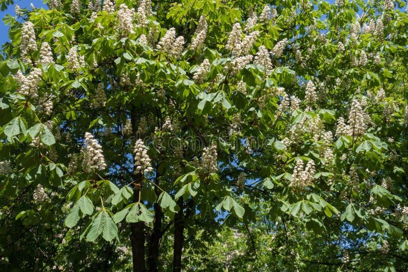 Δέντρο κάστανων αλόγων στην άνθιση την άνοιξη στοκ εικόνα με δικαίωμα ελεύθερης χρήσης