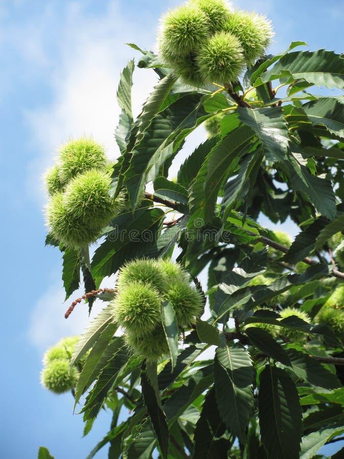 δέντρο κάστανων στοκ εικόνες με δικαίωμα ελεύθερης χρήσης