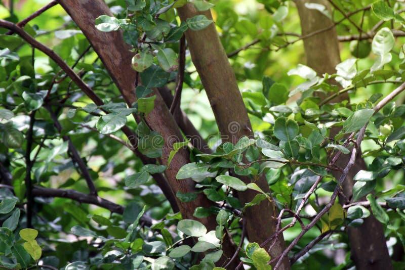 Δέντρο κίτρων kaffir, αύξηση κίτρων kaffir στην αγροτική φύση, φυτεία κίτρων kaffir για τα ταϊλανδικά τρόφιμα λαχανικών καρυκευμά στοκ εικόνες