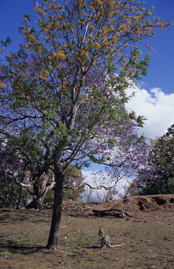 δέντρο καγκουρό κάτω από τις άγρια περιοχές στοκ εικόνες