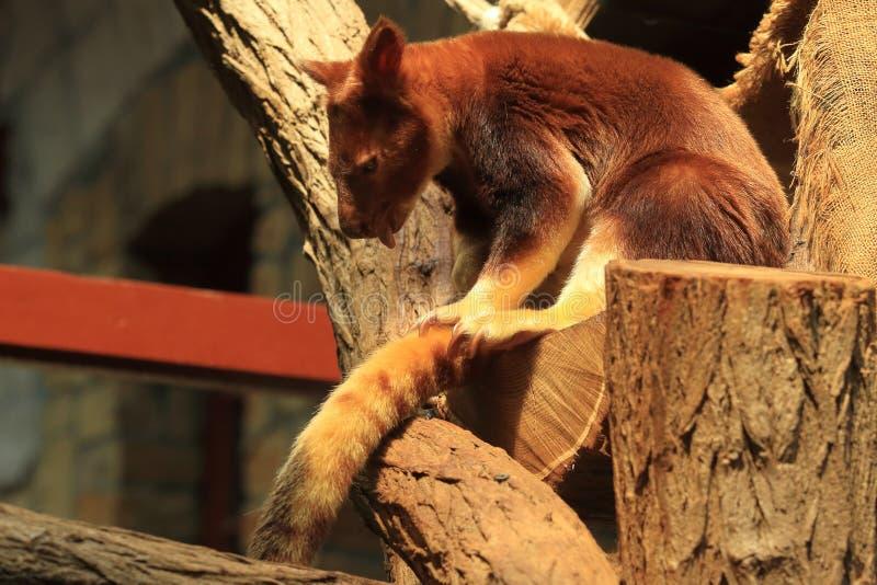 Δέντρο-καγκουρό Goodfellow στοκ φωτογραφία