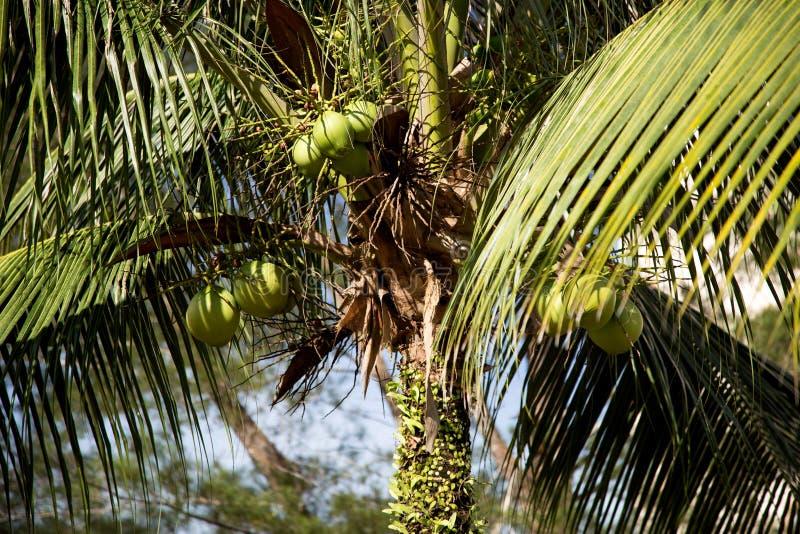 Download Δέντρο και καρύδες καρύδων στοκ εικόνα. εικόνα από καρύδια - 62718789
